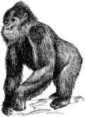 Gorilla_(PSF)